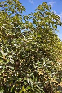 Kibidula Avacado Farm
