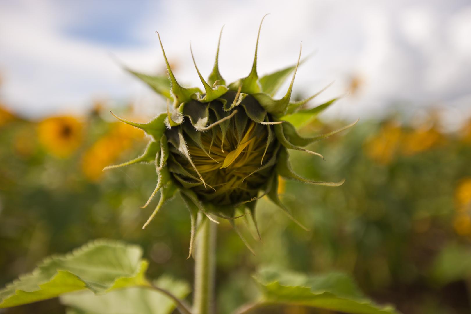Kibidula Sunflower