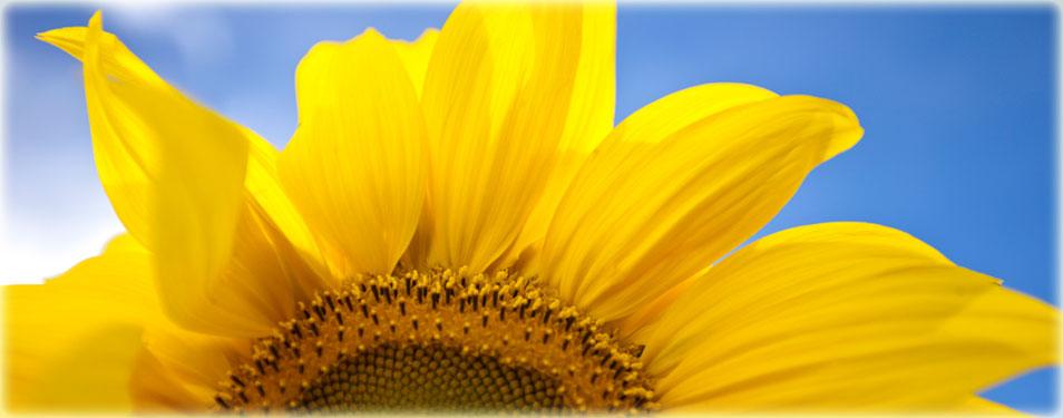 Sunflower cycle