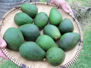 Avocado season has begun